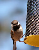 A Small Birds on a feeder Royalty Free Stock Images