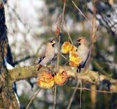 Small birds feeding on fruit Royalty Free Stock Image