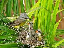 Bird feeding her little baby`s in the nest. These small birds are a few days old and very hungry. They are being fed by there mother who goes and look all day Stock Photo