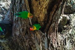 Two lorikeet near the nest. Tanzania, Africa royalty free stock image