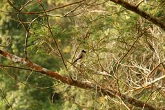 Small birds perched on a pine tree Stock Photo