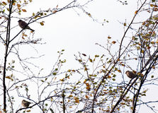 Small birds Royalty Free Stock Images