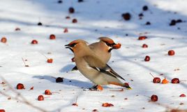 Birds of the steppes Stock Images