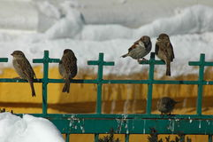 Small birds in the winter time Royalty Free Stock Image