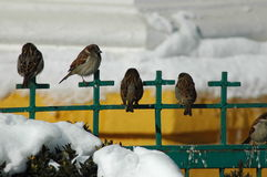 House sparrow, small birds in the winter time Royalty Free Stock Photo