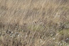 Small Bird In Tall Grass. A small birs inside of some tall grass next to white flowers royalty free stock images