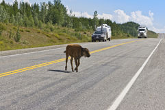 Small bison calf stops traffic. A small bison calf stops traffic as it walks across the Alaska highway near Coal River in northern BC, Canada Royalty Free Stock Photo