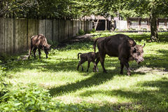 Small bison follows his mother , Bialowieza National Park Royalty Free Stock Image