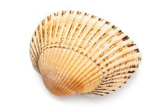 Free Small Bivalve Seashell Isolated On White Background, Top View. Shell Warm Shades Stock Images - 165748144