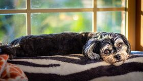 Free Small Black And White Puppy Dog Waiting Looking Depressed And Sad By Window Royalty Free Stock Photography - 199230297
