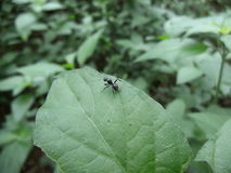 Small black ant with spines on leaf in Swaziland Royalty Free Stock Photos