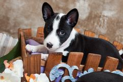 Black Basenji dog puppy is sitting in the basket Royalty Free Stock Photos