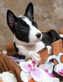 Black Basenji dog puppy is sitting in the basket Stock Image