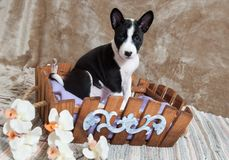 Black Basenji dog puppy is sitting in the basket Royalty Free Stock Image