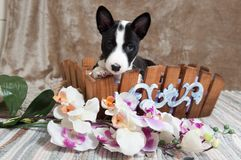Black Basenji dog puppy is sitting in the basket Royalty Free Stock Photo