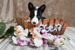 Black Basenji dog puppy is sitting in the basket. Small black Basenji dog puppy is sitting in the basket Stock Photos