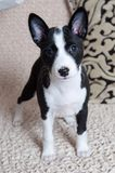 Small black Basenji dog puppy. On the white background Stock Image