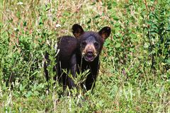 A small black bear cub calls out for its mother royalty free stock images