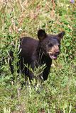 A small black bear cub calls out for its mother royalty free stock photos
