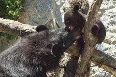 A small black bear is played with her mother Royalty Free Stock Photography