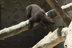 A small black bear is played on a large tree Stock Photos