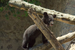 A small black bear is played on a large tree Royalty Free Stock Images