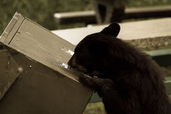 Small Black Bear and Rubbish Bin. A small Canadian black bear attempts to get into a secure rubbish bin for a feed Royalty Free Stock Photography