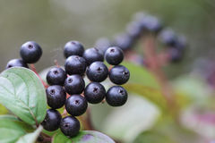 Small black berries Stock Photography