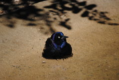 Small black bird Royalty Free Stock Images
