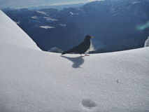 Small black bird on the snow Royalty Free Stock Image