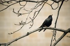 Small black bird on a twig Stock Images