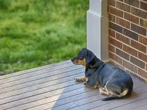 Dog on the Porch. Small black and brown dog rests outside on porch in spring Stock Photos
