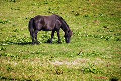 Small black brown pony grazes on pasture,  copy space Stock Photography