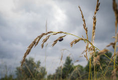Small black bug hanging on oat ear Royalty Free Stock Photo