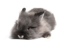 Small black bunny  on white background Royalty Free Stock Images