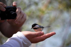 Small black capped Chickadee Royalty Free Stock Image