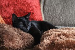 a small black cat lies on colorful fluffy pillows Royalty Free Stock Photo