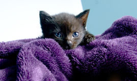 Small black cat sticks his head in a blanket Royalty Free Stock Photo