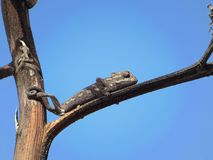 Small black chameleon sitting on tree with blue sky background. Small black chameleon sitting on tree in the middle of a desert with blue sky background Royalty Free Stock Photo