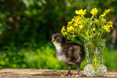 A small black chicken stands on a wooden table with a vase of flowers with a natural green background royalty free stock photo