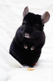 Small black chinchilla Stock Images