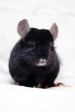Small black chinchilla Royalty Free Stock Photo