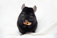 Small black chinchilla Royalty Free Stock Photos
