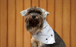 Small black color mix breed dog wearing grey color bandana sitting on the timber floor. With timber background royalty free stock photography