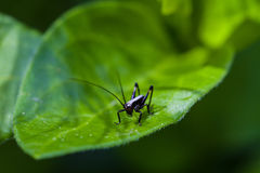 Small black cricket on leaf Royalty Free Stock Photo