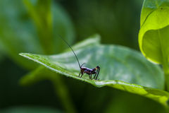 Small black cricket on leaf Stock Photos