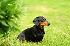 A small black dachshund Stock Photos
