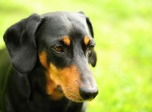 A small black dachshund Royalty Free Stock Photo