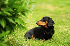 A small black dachshund Royalty Free Stock Images