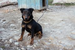 A small black Doberman sits on a chain leot by pushing the tongue royalty free stock image